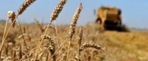 Un projet algéro-américain de céréaliculture entre en production