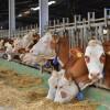 Laiterie Soummam: investissement de 2 milliards DA dans des fermes d'élevage de vaches laitières