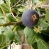 L'Algérie, troisième plus important producteur de figues fraîches au monde