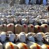 UNPA: l'Algérie, le seul pays maghrébin qui n'importe pas de moutons