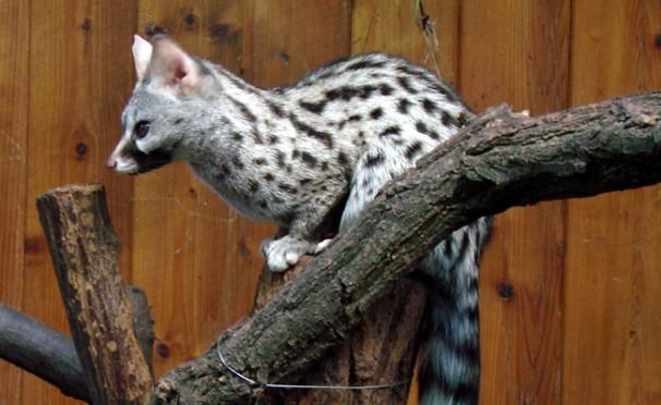 La genette, espèce menacée, réapparaît en Algérie